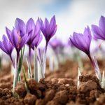 آینده بازار زعفران در ایران