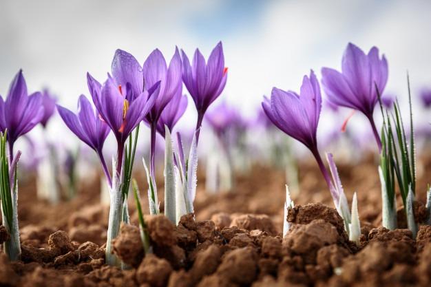 پیش بینی روند قیمت زعفران